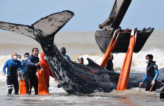 -فرق-الإنقاذ-تتمكن-من-إعادة-حوت-عالق-إلى-البحر-على-شواطئ-البحر-الأرجنتيني