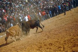 مهرجان مصارعة الثيران السنوي في نيبال
