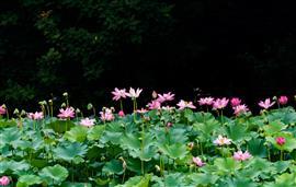 بحيرة حديقة يوييوانتان تتغطى بأزهار