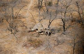 العثور على جثث أفيال في بتسوانا