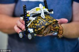 كرسي متحرك لمساعدة السلاحف غير القادرة