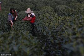 حدائق الشاي بمقاطعة تشجيانج في الصين
