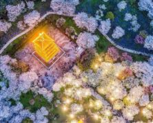 شاهد مزارع أزهار الكرز الرائعة في الصين