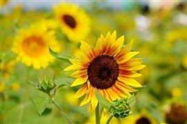 """زهور """"عباد الشمس"""" تجذب السياح إلى مدينة"""
