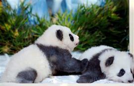 حديقة حيوان برلين تعلن أسماء أشبال الباندا
