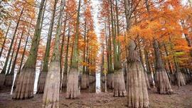 أشجار التنوب الغريبة في جنوب الصين