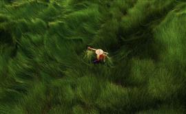 """حصاد أوراق """"الإيليوكاريس الحلو"""" المستخدمة"""