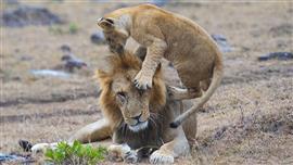 """الأبوة.. أسد وشبله في """"محمية ماساي مارا"""""""