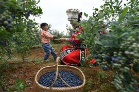 حصاد «التوت الأزرق» في الصين