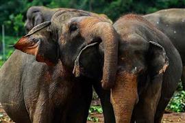 ميتم الفيلة بيناوالا في سريلانكا