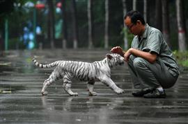 شبل نمر أبيض تخلت والدته عنه و تبناه