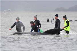 الأستراليون يتسابقون لإنقاذ الحيتان العالقة