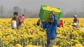 موسم حصاد أزهار الأقحوان الذهبية بالصين