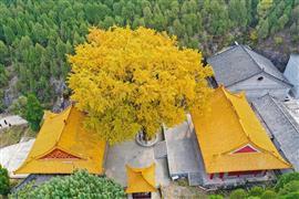 شجرة الجنكة تتحول إلى الأصفر في معبد