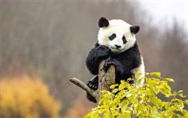 يوميات باندا عملاقة فى الصين