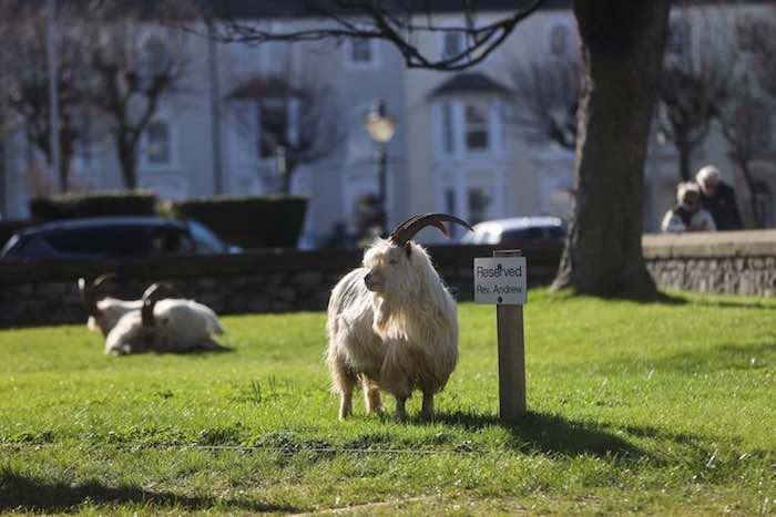 الماعز تتجول في شوارع مدينة ويلز