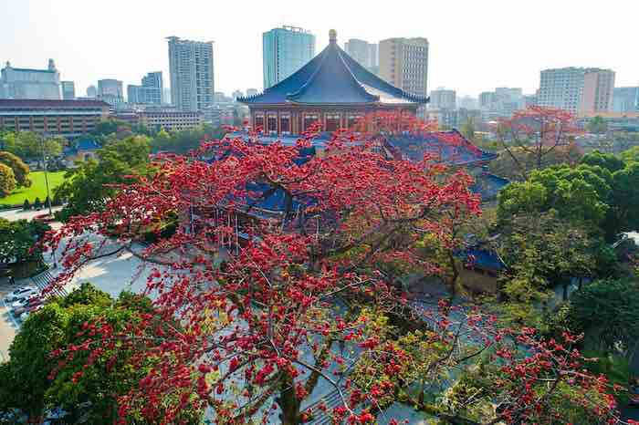شجرة القابوق عمرها 350 عاما في جنوب الصين