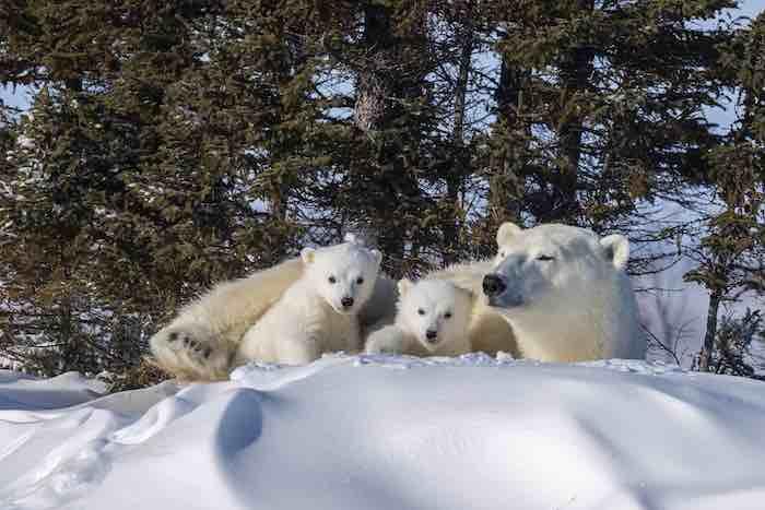 سعادة أشبال الدب القطبي على الثلج