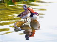 البط الصيني رمز للحب.