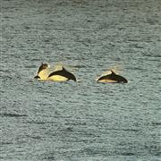 الدلافين في الهواء وسط مجموعة من راكبي الأمواج بشاطئ تماراما في إيستراليا