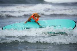 تنافس أكثر من 70 كلبًا في محاولة لركوب الأمواج معا في ديل مار كاليفورنيا