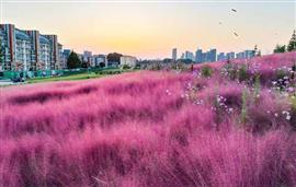 العشب  الوردي يجذب انتباه الزوار بشمال الصين
