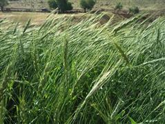 حصاد أوراق الإيليوكاريس الحلو التي تستخدم كعلف للماشية في حقول وسط فيتنام