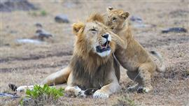 للحياة البرية والطبيعة الأسد وشبله في محمية ماساي مارا الوطنية في كينيا