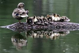 مجموعة من صغار البط تتبع أمها على بحيرة في ??حديقة بيلينغ?? في شنيانغ بالصين