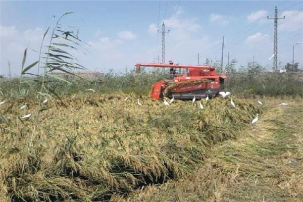 موسم-ناجح-لزراعة-الأرز-بالدقهلية--