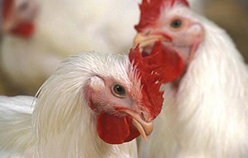تعرف على تأثير ارتفاع درجات الحرارة على أسعار الدواجن والسلع الغذائية -