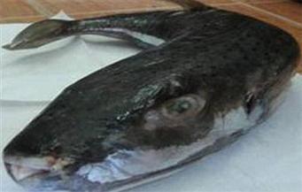 ضبط نصف طن من أسماك «الأرنب السام» بحوزة تاجر بالإسكندرية