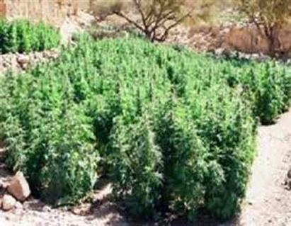 سقوط مسجل خطر زرع 300 شجرة بانجو بالدقهلية -