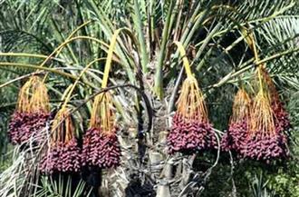 الإدارات الزراعية بقنا توفر مبيدات بنصف الثمن لمكافحة سوسة النخيل الحمراء