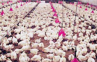 الحكومة تنفي استيراد دواجن مصابة بأنفلونزا الطيور