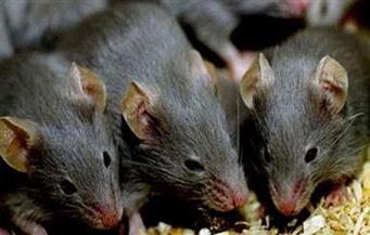 """""""فئران الكيف"""" تتسب في إقالة ثمانية ضباط شرطة في الأرجنتين !"""