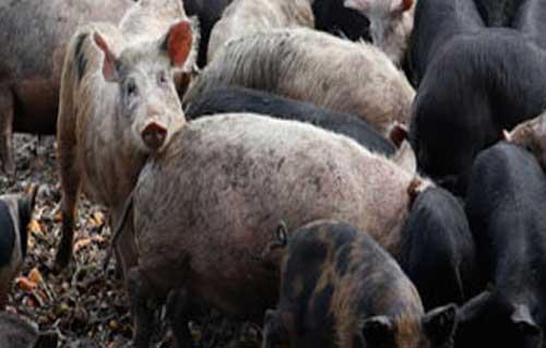 وفاة امرأتين بفيروس إنفلونزا الخنازير في المغرب -