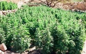 ضبط مزرعة بانجو في منطقة جبلية بمدينة إسنا