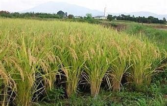 أبوستيت: زيادة مساحة زراعة الأرز العام القادم