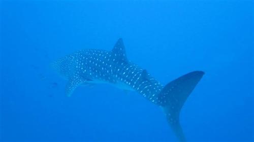 844dc968c بالصور ظهور القرش المسالم في الغردقة - أخبار مصر