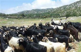 بعد فشلها في خطف أحد الرعاة.. إسرائيل تسرق 450 رأس ماعز في شبعا جنوب لبنان
