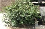 حرق 500 كيلو من الماريجوانا في أتشيه بإندونيسيا