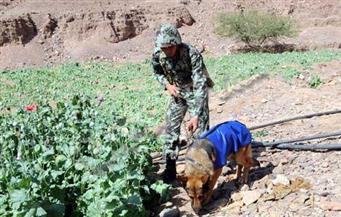 إبادة 39 فدان نباتات مخدرة وضبط 465 كيلو بانجو بجنوب سيناء