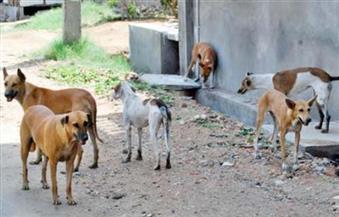 حملة بيطرية مكبرة لمكافحة الحيوانات الضالة بالوادى الجديد