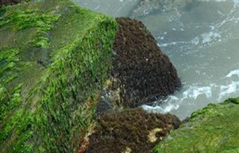 الطحالب مصدر مهم لإنتاج وقود الديزل.. والخبراء يؤكدون: عوائدها الاقتصادية مرتفعة