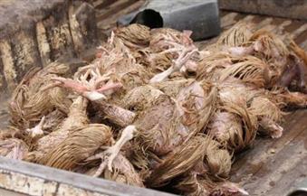 نفوق 6 آلاف دجاجة في حريق بمزرعة دواجن بالفيوم