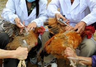 بيطري الشرقية: تحصين 697 ألف طائر ضد مرض أنفلونزا الطيور