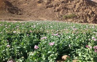 مباحث المخدرات تنجح في إبادة ٢٨ مزرعة خشخاش وضبط ٥٠٠ كيلو بانجو وكميات من الحشيش والهيروين