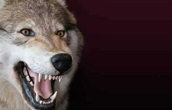 """قتل ذئب هاجم منازل قرية """"الفزازعة"""" التابعة لمركز البياضية جنوب الأقصر"""