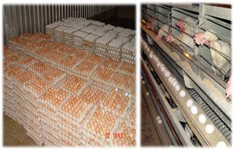 الإصلاح الزراعي: ننتج 250 مليون بيضة و13 ألف خلية نحل توفر 80 طن عسل سنويا